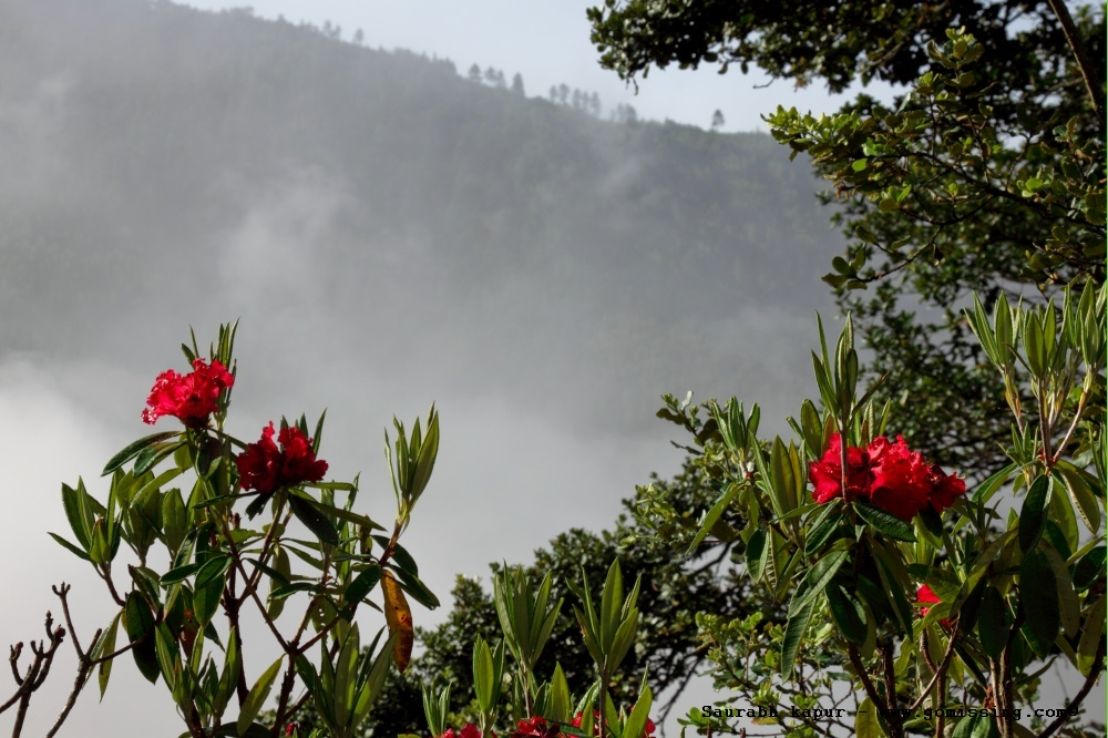 Rhododendrons in Bloom all over the misty hills