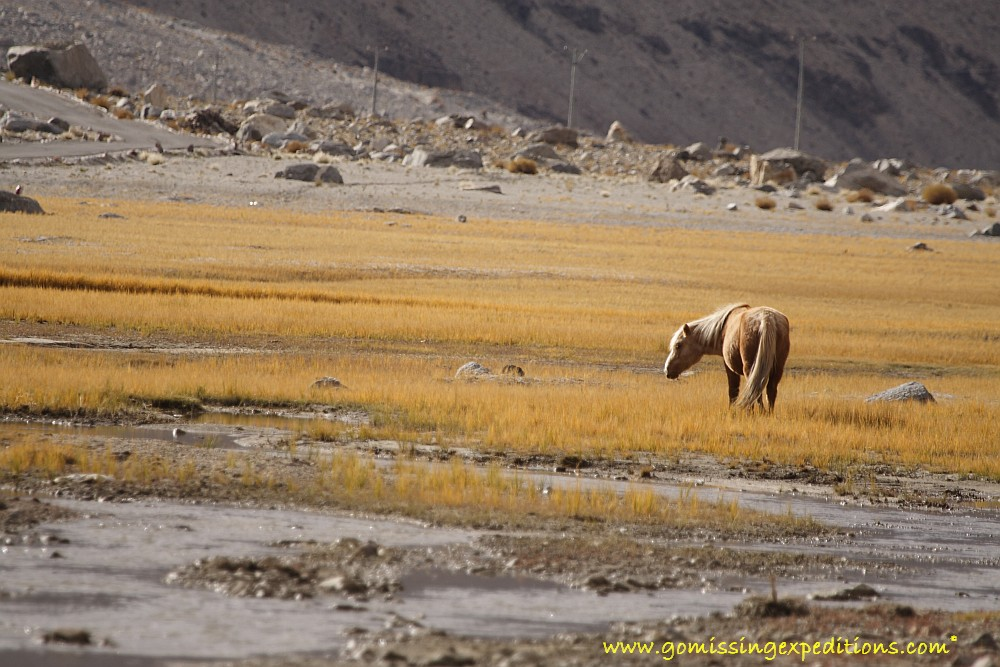 Wild horse in ladakh
