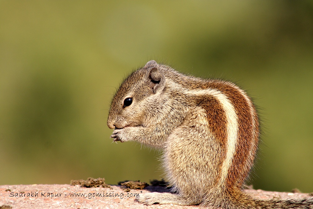 Isolating the background - the little squirrel eating