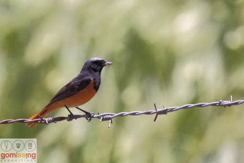 Black redstart with a catch