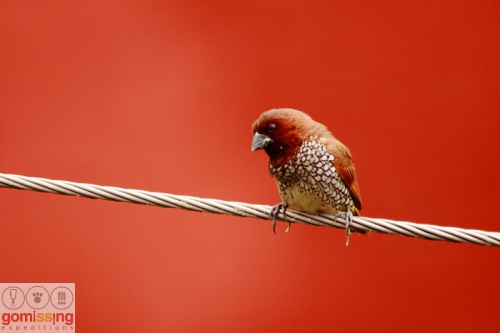 Scaly breasted munia red background