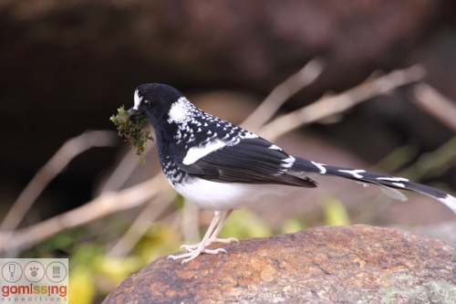 Spotted Forktail with nesting materia