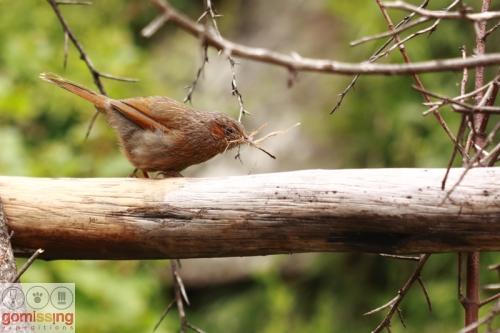 streaked thrush with nesting material