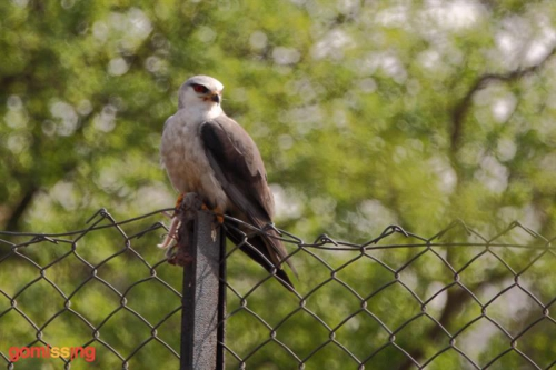 Black shouldered Kite - Sultanpur national Park