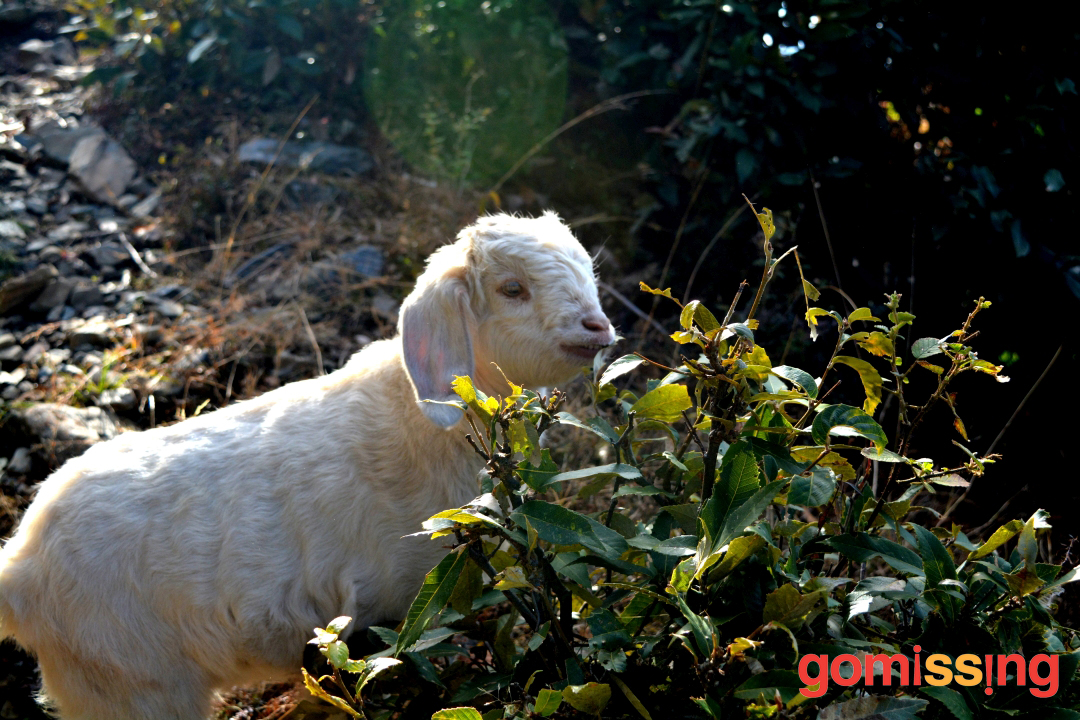 Baby Mountain Goat at Nag Tibba