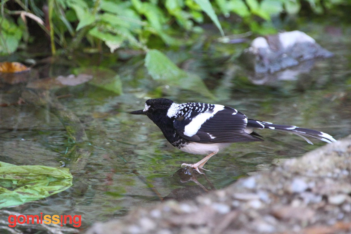 Meeting the spotted forktail