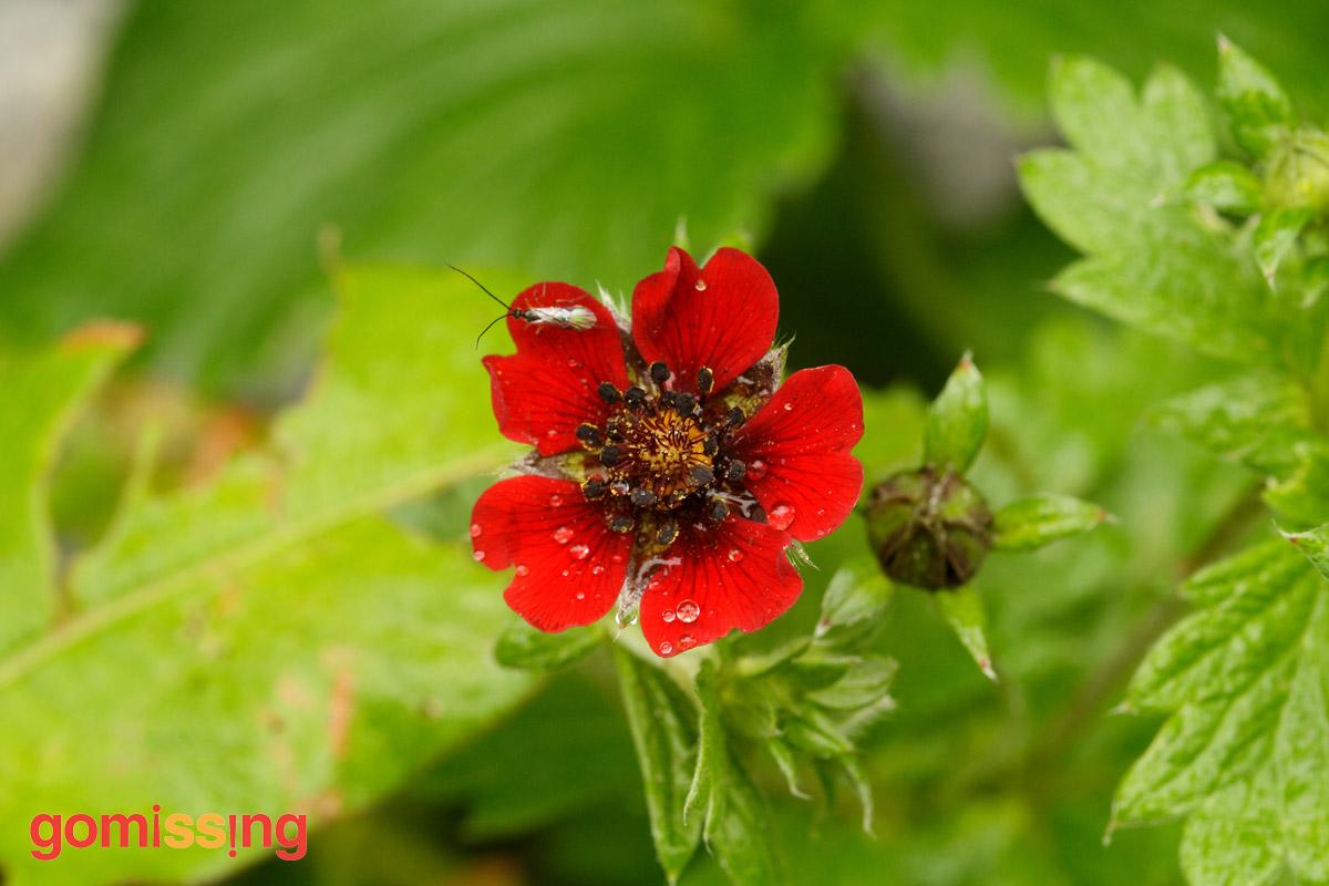 Himalayan-cinquefiol-ruby-cinquefoil-potentilla-atrosanguinea