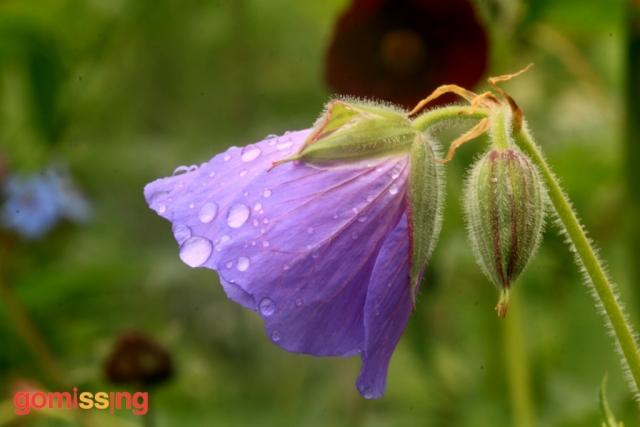 Meadow-Cranesbill-Geranium-Pratense
