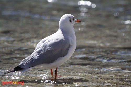 Common Gull at Pangong Tso - Ladakh