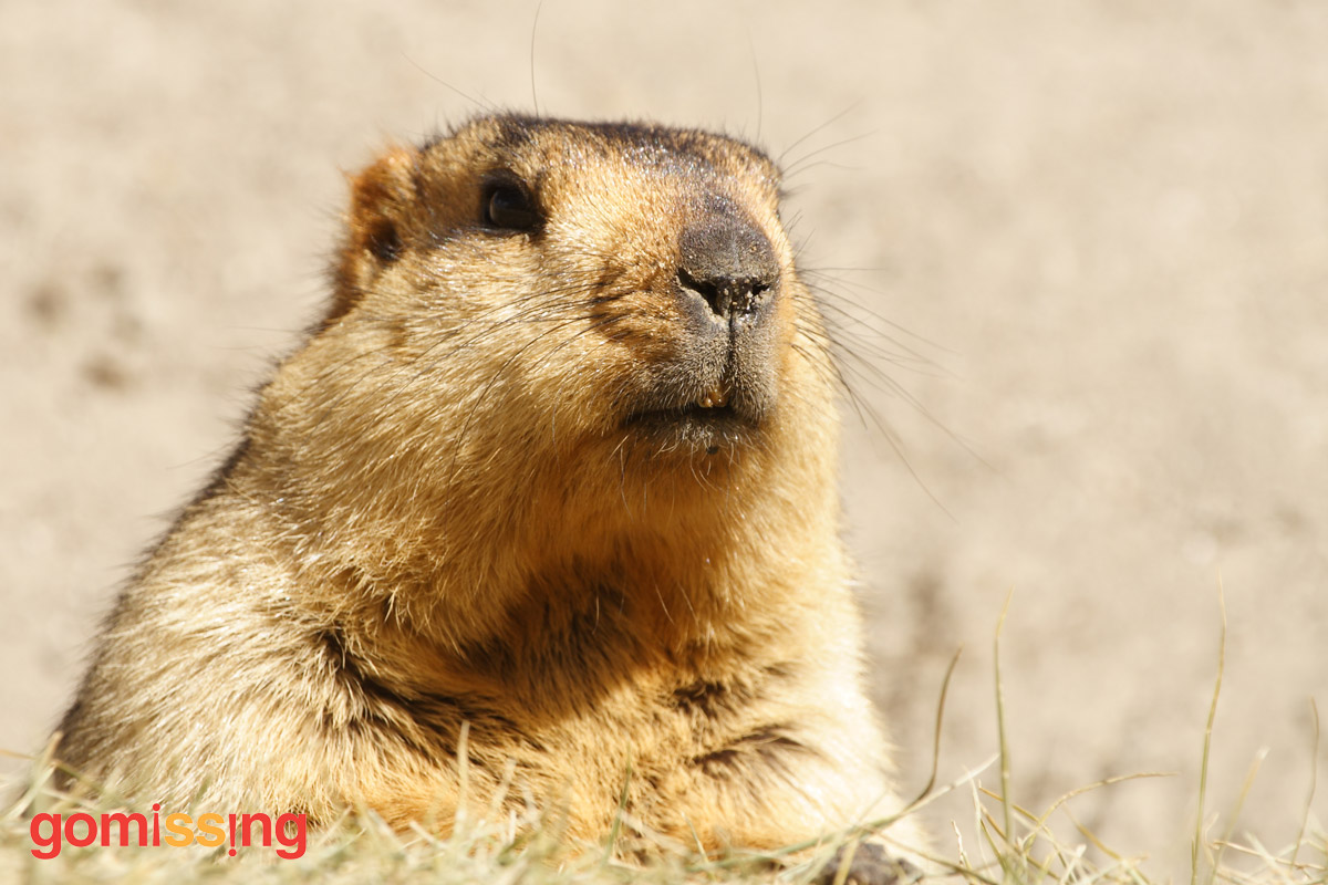 Himalayan Marmot on GoMissing Adventure