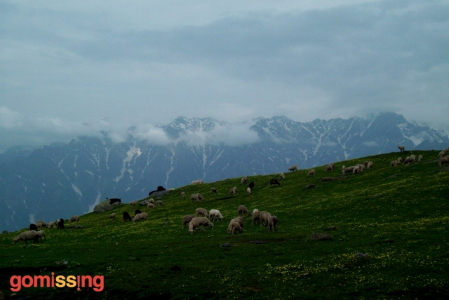 Beas kund trek - sheep in meadows