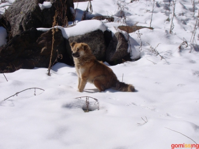 adorable himachai hound in snow