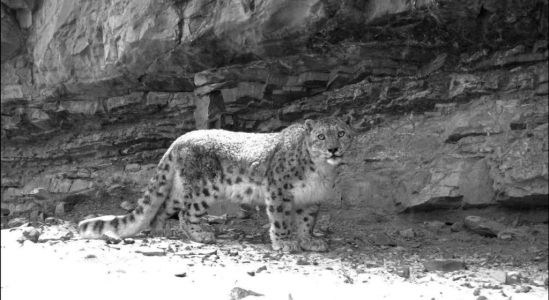 Snow leopard in Spiti - forest division camera trap picture