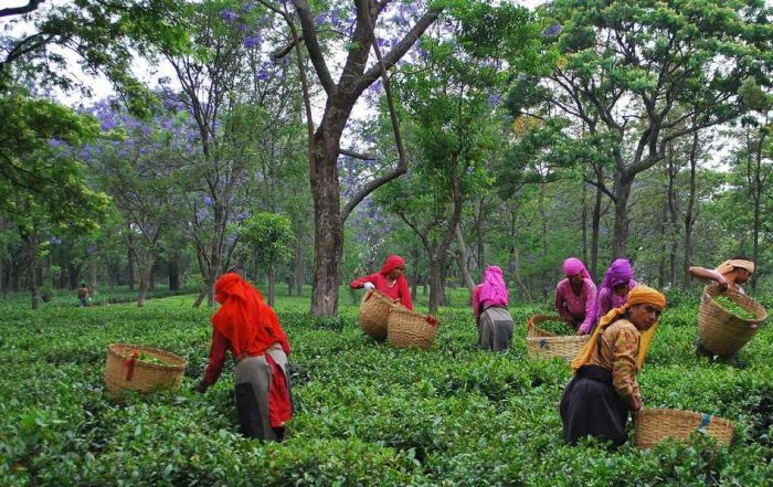 Tea Leaf picking