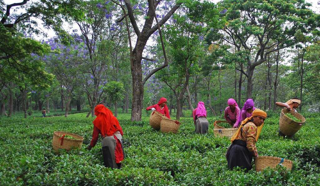 Tea Leaf picking