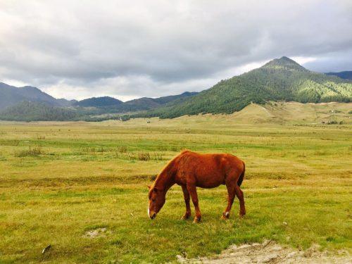 Horse Grazing in Phobjinkha, Bhutan