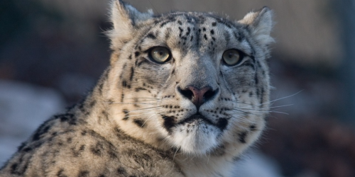 Snow Leopard face closeup