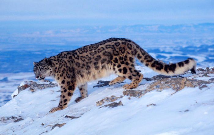 snow leopard spiti ladakh, in india