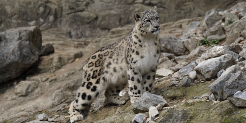 Majestic Snow Leopard in Spiti, India