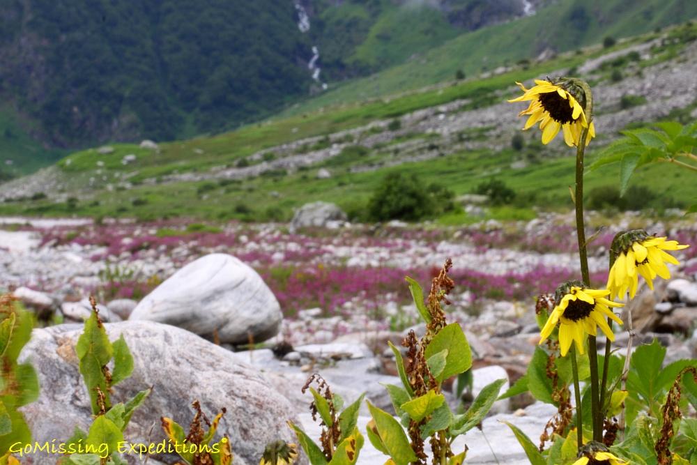 Sunflowers at the banks of Pushpawati River - Valley of Flowers, Uttarakhand