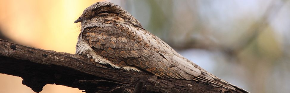 Grey nightjar - Bharatpur wildlife sanctuary
