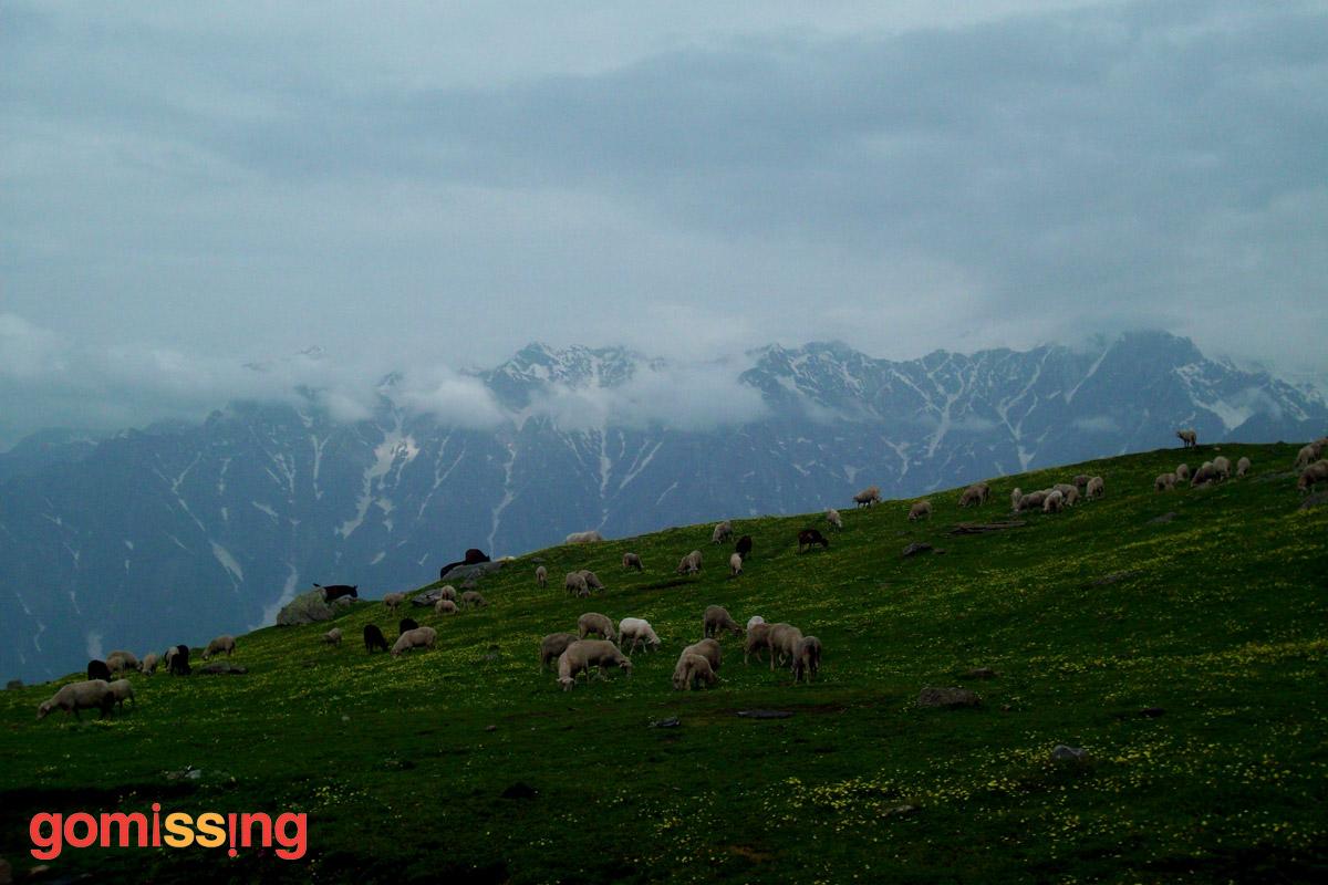 Beas kund trek - sheep in meadows