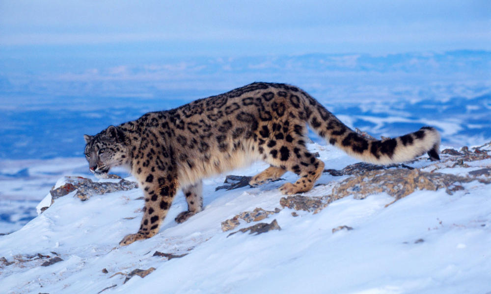 A Look at the Fascinating Snow Leopard: How Much Do You Know?